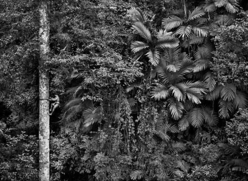 Homem subindo árvore gigante, de Sebastião Salgado(foto: Sebastião Salgado/Galeria Mario Cohen/Divulgação)