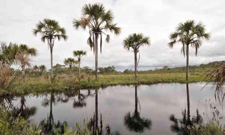Buritis em uma vereda do Parque Nacional das Sempre-Vivas, no Norte de Minas