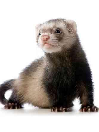 Ferret, ou furão, vive em média seis anos(foto: Petco/Reprodução da internet)
